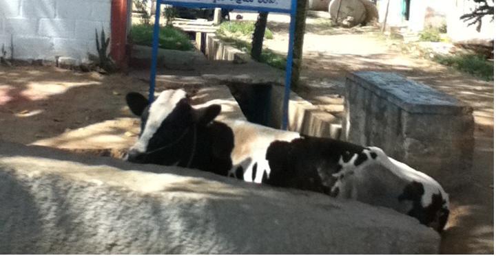 Bengaluru cow